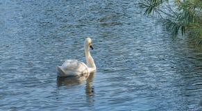 Ο βουβός Κύκνος - αστερισμός του Κύκνου olorIn που κολυμπά στο νερό νερού λιμνών με τα περιβάλλοντα δέντρα πάρκων Στοκ Εικόνα
