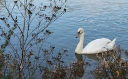 Ο βουβός Κύκνος - αστερισμός του Κύκνου olorIn που κολυμπά στο νερό νερού λιμνών με τα περιβάλλοντα δέντρα πάρκων Στοκ Εικόνες