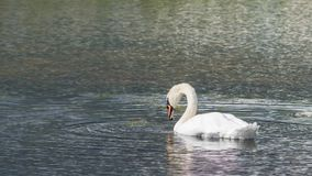 Ο βουβός Κύκνος - αστερισμός του Κύκνου olorIn που κολυμπά στο νερό νερού λιμνών με τα περιβάλλοντα δέντρα πάρκων Στοκ Φωτογραφία