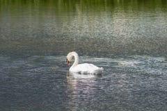 Ο βουβός Κύκνος - αστερισμός του Κύκνου olorIn που κολυμπά στο νερό νερού λιμνών με τα περιβάλλοντα δέντρα πάρκων Στοκ φωτογραφία με δικαίωμα ελεύθερης χρήσης