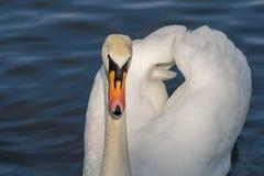 Ο βουβός Κύκνος - αστερισμός του Κύκνου olorIn που κολυμπά στο νερό νερού λιμνών στο Χάιντ Παρκ, Λονδίνο Στοκ εικόνες με δικαίωμα ελεύθερης χρήσης