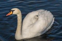 Ο βουβός Κύκνος - αστερισμός του Κύκνου olorIn που κολυμπά στο νερό νερού λιμνών στο Χάιντ Παρκ, Λονδίνο Στοκ Εικόνες