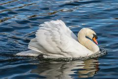 Ο βουβός Κύκνος - αστερισμός του Κύκνου olorIn που κολυμπά στο νερό νερού λιμνών στο Χάιντ Παρκ, Λονδίνο Στοκ φωτογραφίες με δικαίωμα ελεύθερης χρήσης