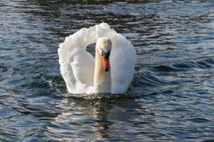 Ο βουβός Κύκνος - αστερισμός του Κύκνου olorIn που κολυμπά στο νερό νερού λιμνών στο Χάιντ Παρκ, Λονδίνο Στοκ φωτογραφία με δικαίωμα ελεύθερης χρήσης