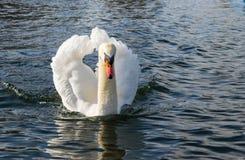 Ο βουβός Κύκνος - αστερισμός του Κύκνου olorIn που κολυμπά στο νερό νερού λιμνών στο Χάιντ Παρκ, Λονδίνο Στοκ Φωτογραφίες