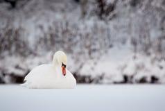 Ο βουβός Κύκνος στον πάγο το χειμώνα Στοκ φωτογραφία με δικαίωμα ελεύθερης χρήσης