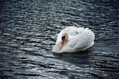 Ο βουβός Κύκνος τα φτερά που καλύπτονται με Στοκ Φωτογραφία