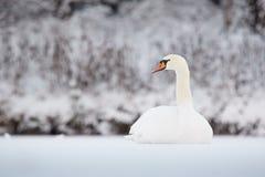 Ο βουβός Κύκνος το χειμώνα Στοκ φωτογραφίες με δικαίωμα ελεύθερης χρήσης