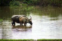 Ο βούβαλος τρώει τη χλόη στους πλημμυρισμένους τομείς, ποτίζοντας grasshop Στοκ Φωτογραφία