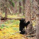 Ο βόρειος δασικός Μαύρος Yukon αντέχει Ursus αμερικανικό Στοκ Εικόνες