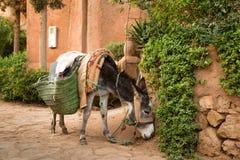 Ο γάιδαρος είναι οι πιό κοινοί μαροκινοί χωρικοί αρωγών Στοκ Εικόνες