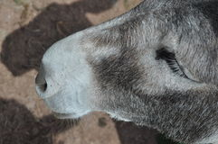 Ο γάιδαρος κοιτάζει επίμονα Στοκ φωτογραφία με δικαίωμα ελεύθερης χρήσης
