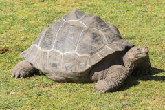 Ο γίγαντας στον ήλιο, γίγαντας Tortoise Aldabra Στοκ φωτογραφίες με δικαίωμα ελεύθερης χρήσης