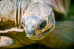 Ο γίγαντας Aldabra η κινηματογράφηση σε πρώτο πλάνο dussumieri Dipsochelys Στοκ Εικόνα