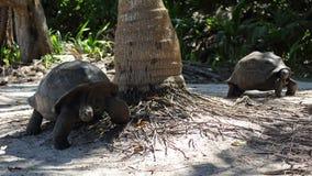 Ο γίγαντας Aldabra, Σεϋχέλλες Στοκ φωτογραφία με δικαίωμα ελεύθερης χρήσης
