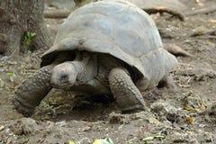 Ο γίγαντας Aldabra το περπάτημα Στοκ Εικόνες
