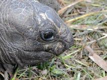 Ο γίγαντας Aldabra το gigantea Aldabrachelys Νησί Curieuse Στοκ εικόνες με δικαίωμα ελεύθερης χρήσης