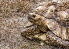 Ο γίγαντας Aldabra το gigantea Aldabrachelys Στοκ Φωτογραφία