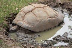 Ο γίγαντας Aldabra το gigantea Aldabrachelys Στοκ εικόνες με δικαίωμα ελεύθερης χρήσης
