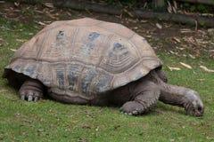 Ο γίγαντας Aldabra το gigantea Aldabrachelys Στοκ εικόνα με δικαίωμα ελεύθερης χρήσης
