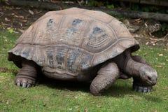 Ο γίγαντας Aldabra το gigantea Aldabrachelys Στοκ Φωτογραφίες