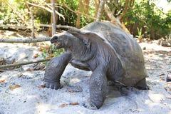 Ο γίγαντας Aldabra τρώει τα φύλλα Στοκ Εικόνες
