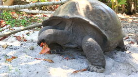 Ο γίγαντας Aldabra τρώει τα φύλλα φιλμ μικρού μήκους