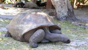 Ο γίγαντας Aldabra απόθεμα βίντεο