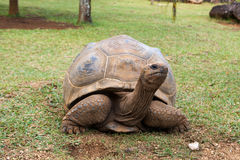 Ο γίγαντας Aldabra Στοκ Εικόνα
