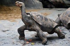 Ο γίγαντας Aldabra Στοκ Φωτογραφία