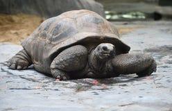 Ο γίγαντας Aldabra Στοκ Εικόνες