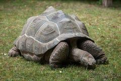 Ο γίγαντας Aldabra & x28 Aldabrachelys gigantea& x29  Στοκ Φωτογραφίες