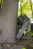 Ο γίγαντας anteater (tridactyla Myrmecophaga) τρώει τα μυρμήγκια Στοκ Φωτογραφίες