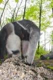 Ο γίγαντας anteater (tridactyla Myrmecophaga) τρώει τα μυρμήγκια Στοκ Εικόνες