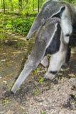 Ο γίγαντας anteater (tridactyla Myrmecophaga) τρώει τα μυρμήγκια Στοκ φωτογραφία με δικαίωμα ελεύθερης χρήσης