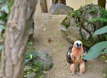 Ο γενειοφόρος γύπας περπατά στο φράκτη του στο ζωολογικό κήπο Στοκ εικόνα με δικαίωμα ελεύθερης χρήσης