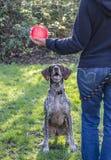 Ο γερμανικός κοντός μαλλιαρός δείκτης περιμένει Στοκ φωτογραφία με δικαίωμα ελεύθερης χρήσης