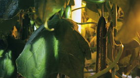 Ο γεωπόνος μαδά τα φρούτα της ανάπτυξης αγγουριών στο θερμοκήπιο στο εσωτερικό φιλμ μικρού μήκους