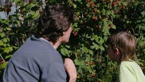 Ο γιος και ο μπαμπάς τρώνε τα σμέουρα, λυσσασμένα αυτό από τους θάμνους στη χώρα φιλμ μικρού μήκους