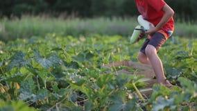 Ο γιος που βοηθά το κολοκύθι κολοκυθιών συγκομιδής πατέρων και φέρνει τα λαχανικά στο αγρόκτημα απόθεμα βίντεο