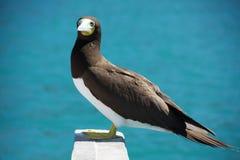 ο γκαφατζής πουλιών πλήρ&omega Στοκ Εικόνες