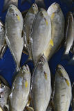 Ο γκρίζος αλατισμένος θάλασσα τόνος ψαριών σε δύο σειρές βάζει σε ένα μπλε κλίμα, σύλληψη ψαράδων ` s για την πώληση Στοκ φωτογραφία με δικαίωμα ελεύθερης χρήσης