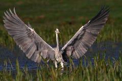 Ο γκρίζος ερωδιός που προσγειώνεται και παρουσιάζει μεγάλα φτερά Στοκ Εικόνες