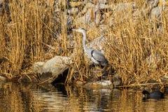 Ο γκρίζος ερωδιός Ardea φαιάς ουσίας είναι ένα wading πουλί στην οικογένεια ερωδιών Στοκ Φωτογραφίες