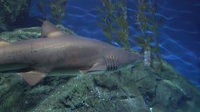Ο γκρίζος καρχαρίας σκοπέλων με ένα μεγάλο σαγόνι και ισχυρά πτερύγια κυνηγά κοντά στους βράχους Αρπακτικό ζώο στο υποβρύχιο περι φιλμ μικρού μήκους