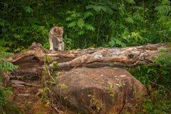 Ο γκρίζος Λύκος Canis κουταβιών λύκων αναρριχείται πέρα από το κούτσουρο Στοκ φωτογραφία με δικαίωμα ελεύθερης χρήσης