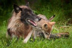Ο γκρίζος Λύκος Canis κουταβιών λύκων αναρριχείται πέρα από το μαύρο αντιμέτωπο λύκο Στοκ Εικόνες