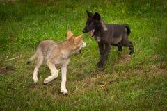 Ο γκρίζος Λύκος Canis κουταβιών λύκων συναντιέται Στοκ εικόνα με δικαίωμα ελεύθερης χρήσης