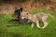 Ο γκρίζος Λύκος Canis κουταβιών λύκων τρέχει τον προηγούμενο λύκο μαύρος-φάσης Στοκ φωτογραφία με δικαίωμα ελεύθερης χρήσης