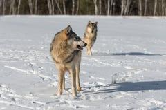 Ο γκρίζος Λύκος Canis λύκων γυρίζει άλλου στο υπόβαθρο Στοκ εικόνες με δικαίωμα ελεύθερης χρήσης